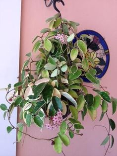It is a trailing plant with beautiful  clusters of pink flowers that are hard to the touch.  Variegated Hoya sometimes will revert back to plain green - cut off those shoots if you want it to stay variegated, because eventually the green will take over.