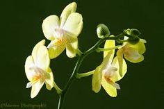 pinterest imagenes de phalaenopsis - Buscar con Google
