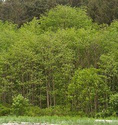 Alnus rubra - Red alder Alder Tree, Douglas Fir, Plant Species, Native Plants, Forks, Pacific Northwest, Pharmacy, Paranormal, North West