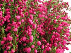 "Boronia ""Pink"" - Boronia - Flowers and Fillers - Flowers by category 