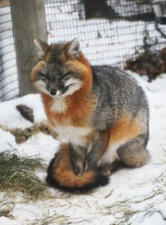 North American Grey Fox in full Winter finery! No wonder they call them sly, it's all in the eyes Nature Animals, Animals And Pets, Baby Animals, Funny Animals, Cute Animals, Exotic Animals, Wild Animals, Cute Creatures, Beautiful Creatures