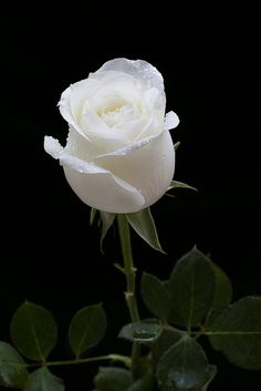 Love Rose Flower, Beautiful Rose Flowers, Beautiful Flowers Wallpapers, Pretty Flowers, White Roses Wallpaper, White Roses Background, Flower Phone Wallpaper, Blossom Garden, Black And White Flowers