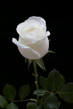 Beautiful Rose Flowers, Beautiful Flowers Wallpapers, Flowers Nature, Amazing Flowers, Pretty Flowers, White Flowers, White Roses Background, White Roses Wallpaper, Rose Flower Wallpaper