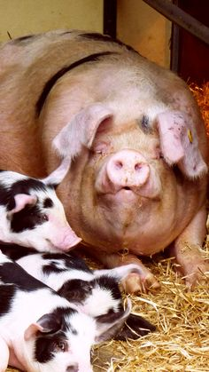 """Piggies"" Shared by Lassensloves.com"