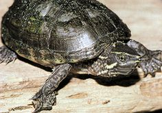 """Common Musk Turtle (Sternotherus odoratus) Photo © Jim Harding In Michigan, mostly inhabits clear lakes with sand or marl bottoms. Rarely bask, are generally seen foraging along the bottom in shallow water. May be nocturnal in summer. They eat snails, crayfish, insects, tadpoles, etc. If disturbed, glands along lower edge of shell secrete a foul-smelling musk, hence the common name """"stinkpot."""" Common in southern Lower Peninsula, but threatened by lakeshore development."""