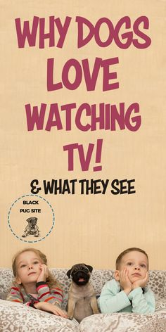 Why do pugs watch tv? A look at why some domestic dogs love watching TV and whetehr or not if they can regcongize the onscreen images and. Pug Facts, Teacup Pug, Old Pug, Black Pug Puppies, Fawn Pug, Baby Pugs, Cute Pugs, Pug Love, Family Dogs