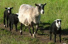 The original Finnish sheep breed Kainuunharmas / Kainuu Grey