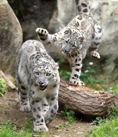 Adolescent Snow Leopard cub about to pounce on unsuspecting mom