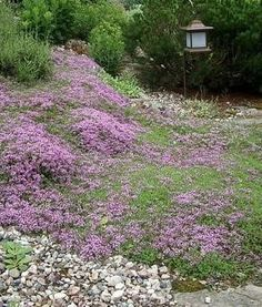 Thymus serpyllum (тимьян ползучий) | Зеленый город