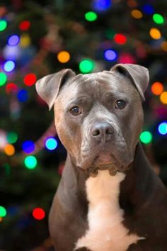 MERRY CHRISTMAS TO ALL AND A BLESSED NEW YEAR PIT BULL LOVE XOXOXOXO