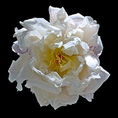 Peony W2 (Explore) | Flickr - Photo Sharing!
