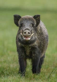 Find Wild Boar Male Large Tusks Head stock images in HD and millions of other royalty-free stock photos, illustrations and vectors in the Shutterstock collection. Wild Animals Pictures, Animal Pictures, Zebras, Animals And Pets, Cute Animals, Pig Breeds, Hog Hunting, Wild Boar, Mundo Animal