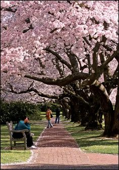 Landscaping; Cherry Blossom Trees