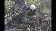 As I watch and pin this, it's breakfast time in the Decorah Eagles' Nest. Fabulous livestream.