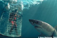 Cage diving with sharks! On my bucket list!