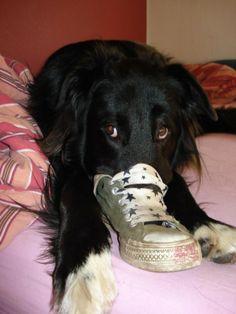 Hovawart - Mix Goofy Schuh?! Welcher Schuh??? … hab keinen gesehen   Hundename: Goofy / Rasse: Hovawart – Mix      Mehr Fotos: https://magazin.dogs-2-love.com/foto/hovawart-mix-goofy/ Bild, Hund, Kleidung