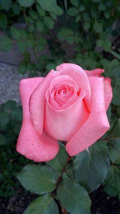 Adoro as minhas rosas http://portugal.4life.com/7547754 - Adosinda Esteves - Google+