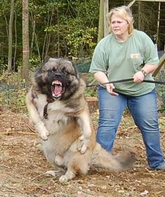 This is why I don't like big dogs.but he is quite cute when he isn't eating children, Caucasian Mountain Dog. Big Dogs, Cute Dogs, Dogs And Puppies, Giant Dogs, Chihuahua Puppies, Russian Bear Dog, Caucasian Shepherd Dog, Dog Thoughts, Scary Dogs