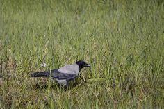 Hooded crow | par jpskoubo2016