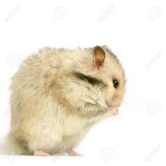 Hamster By Lifeonwhite¡¯s photos , White Swiss Shepherd, Belgian Shepherd, Shepherd Dog, Creative Photoshop, English Cocker Spaniel, Yorkshire Terrier, Stand Up, Mammals, Royalty Free Stock Photos