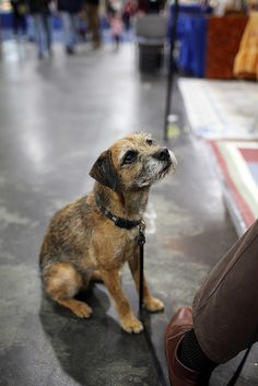 Border Terrier big enough to pick up and not step on. Small enough it's not a workout to get them in the car! Border Terrier, Rat Terriers, Terrier Dogs, Pitbull Terrier, Best Dog Breeds, Best Dogs, Raining Cats And Dogs, Brown Dog, Little Dogs