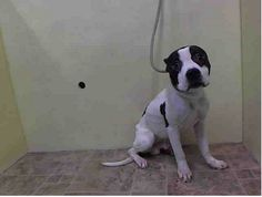 Manhattan Center   MONTY - A0995264   MALE, WHITE / BLACK, PIT BULL MIX, 2 yrs, 1 mo OWNER SUR - AVAILABLE, NO HOLD Reason NO TIME  Intake condition NONE Intake Date 03/30/2014, From NY 10035, DueOut Date 04/02/2014,  https://www.facebook.com/photo.php?fbid=780310138648534&set=a.617938651552351.1073741868.152876678058553&type=3&theater