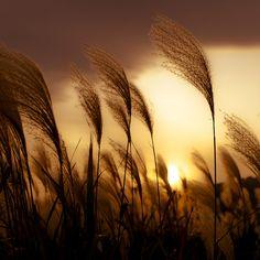 Susuki /Pampas Grass