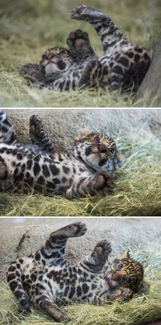 #jaguar cub photos by Cheryl Thiele