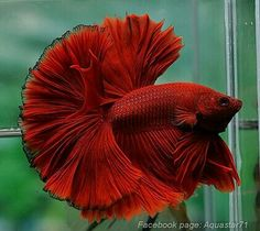 808 Red hawk OHM male Freshwater Aquarium Fish, Aquarium Fish Tank, Colorful Fish, Tropical Fish, Betta Fish Types, Sea Plants, Deep Sea Creatures, Beta Fish, Siamese Fighting Fish