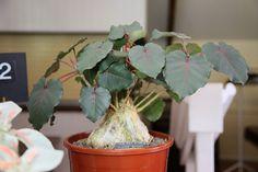 Фикус черешковый Desert Plants, Tropical Plants, Small Birds, Ficus, Bird Species, Cacti And Succulents, Plant Care, House Plants, Exotic