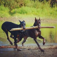 We found a stick! #dobermans #friends #running