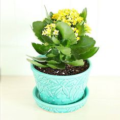 Couldn't resist this kalanchoe, which is currently brightening my kitchen! Looks perfect in my aqua Mccoy planter.