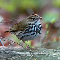 OVENBIRD (Seiurus aurocapilla) - a rapid-fire teacher-teacher-teacher song rings out in summer hardwood forests from the Mid-Atlantic states to northeastern British Columbia. Eats mainly forest insects and other invertebrates: adult beetles and larvae, ants, caterpillars, flies, and other insects. Most of these are hunted in leaf litter, some on leaves. It's nest resembles a Dutch oven: hence the name ovenbird.