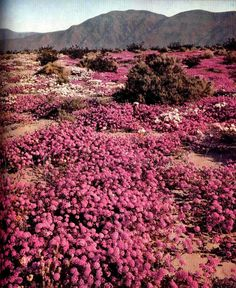 Fields of pink sand verbena in the desert after a rainfall