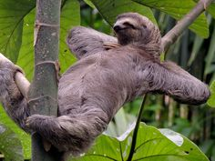 We Have Found Your Spirit Animal Memes) - World's largest collection of cat memes and other animals Sloth Photos, Funny Photos, Funny Sloth Pictures, Caption Pictures, Baby Sloth, Cute Sloth, Animal Memes, Funny Animals, Cute Animals
