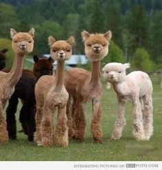 SHAVED LLAMAS. THAT IS ALL.