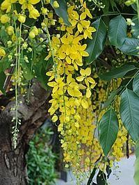 A chuva-de-ouro é uma árvore ornamental decídua, de floração espetacular, com seus belos cachos pendentes de flores douradas. De porte médio e crescimento rápido, ela alcança cerca de 5 a ...