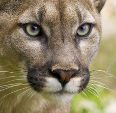 This is a gorgeous female Puma.     They are the cats with many names. Puma's are also known as Cougars, Panthers and Mountain Lions and are the 4th largest of the big cats. They are renowned as powerful and impressive hunters.    The puma is a solitary mammal and will compete for prey with larger predators such as wolf packs and bears. The puma hunts deer, elk, beavers and other large mammals and the occasional bird.