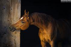 Arabian horses | Equine photography by Ekaterina Druz