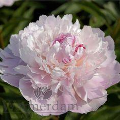 Paeonia Pêcher ~ Warmerdam Paeonia Passion Oude Wetering (bloeitijd middenvroeg)