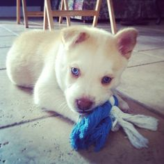 Husky/yellow lab mix 2 fav dogs in one?!! No way!!