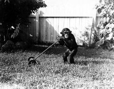 Even baby chimps have chores! (1949) | Florida Memory