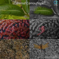 Camouflage helps animals blend in with their surroundings to help them sneak up on prey and for protection from predators. Learn more about this mechanism, and see intriguing examples of camouflage at work: https://curiosity.com/playlists/how-life-adapts-to-its-environment-6kWNCwRU?utm_source=pinterest&utm_medium=social&utm_campaign=090114pin