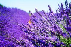 Lavender field with summer blue sky close up, France by Anastasy Yarmolovich #Provence #AnastasyYarmolovichFineArtPhotography  #ArtForHome #Flowers