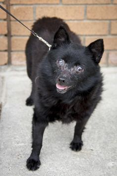 Meet Barbara, a Petfinder adoptable Schipperke Dog | Saint Louis Park, MN | Thank you for stopping by to see me!  Please check below to see what upcoming adoption events I...