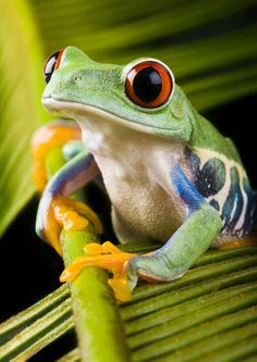 Almost all amphibians have thin, moist skin that helps them breathe. Check 35 creepiest amphibians that will shook your mind and make your day more creepy. Funny Frogs, Cute Frogs, Beautiful Creatures, Animals Beautiful, Cute Animals, Wild Animals, Baby Animals, Rainforest Frog, Amazon Rainforest Animals