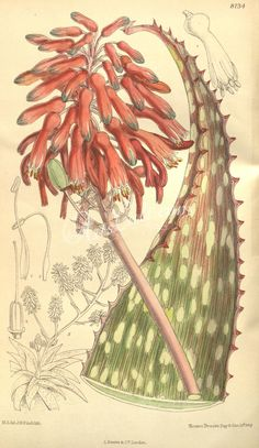 [as Aloe campylosiphon A. Berger] / Curtis's Botanical Magazine, t. 8134 [M. Technical Illustration, Family Illustration, Plant Illustration, Botanical Illustration, Nature Illustrations, Vintage Illustrations, Botanical Drawings, Botanical Prints, Biology Drawing