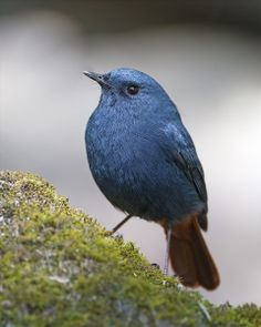 The Plumbeous Water Redstart ,male (Rhyacornis fuliginosa) - Muscicapidae - South Asia, Southeast Asia and China. The bird's common name refers to its colour, resembling lead. The bird tends to be found near running water, often at higher altitudes, though it will go to lower altitudes during the winter.