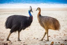 A male cassowary taking a stroll on the beach with his chick, Etty Bay in Moresby Range National Park, Queensland, Australia Tropical Birds, Colorful Birds, Owl Bird, Pet Birds, Cassowary Bird, I Like Birds, Australia Animals, Ostriches, Flightless Bird