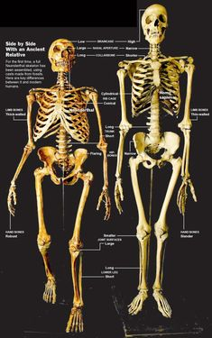 Side by Side With an Ancient Relative -- For the first time, a full Neanderthal skeleton has been assembled, using casts made from fossils. Here are key differences between it and modern humans.